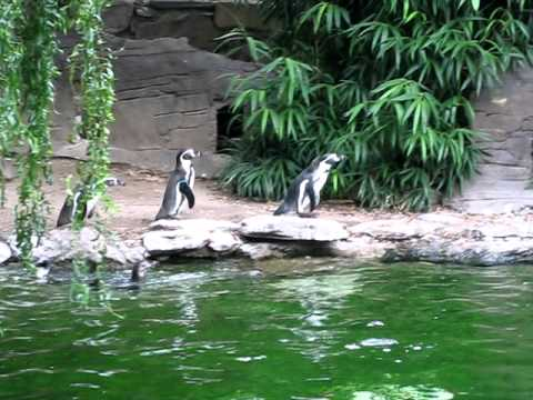 Humboldt Penguins Chasing a Butterfly