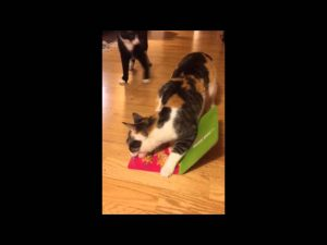 (VIDEO) Cat Steals Singing Card