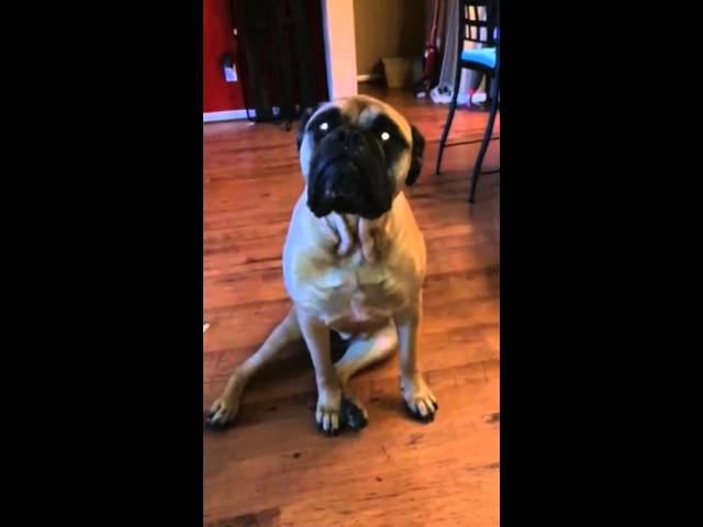 French Bulldog Gets Outed By His Best Friend
