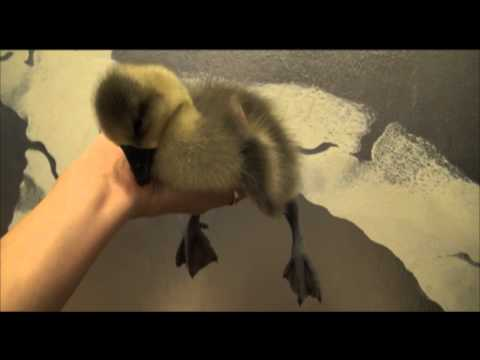 Sleepy Gosling - The Translation