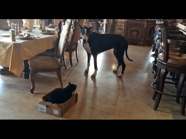 Great Dane Talks To Her Cat And Carries Box To Her Bed