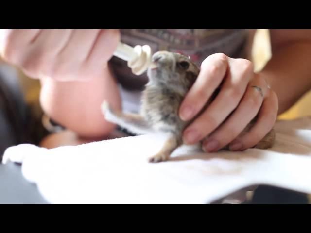 Cottontail Baby Rabbit Enjoying His Milk