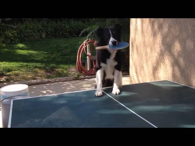 Dog Plays Ping Pong