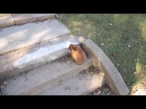 Bulldog Puppy vs Steps