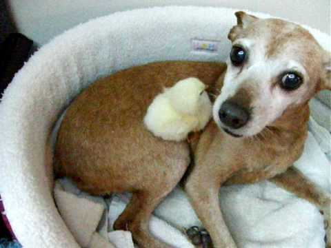 Dog Tending Baby Chick