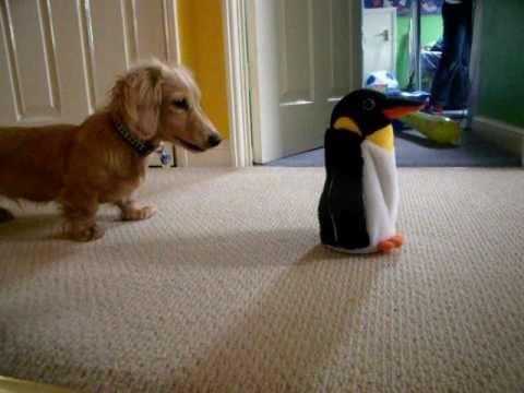 Cute Dachshund Vs. Penguin Toy