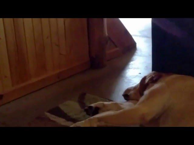 VIDEO: Labrador Has A Funny Snore
