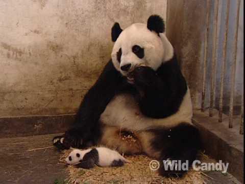 Sneezing Baby Panda video
