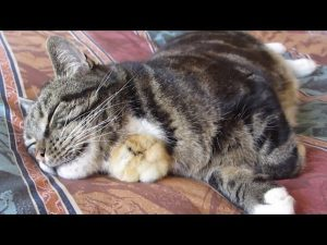 (VIDEO) Chick Sleeps Under Cat's Chin