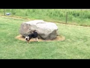 Duck Chases Dog video