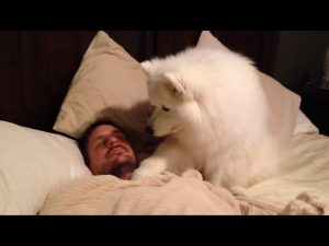 Lexi, the Samoyed Dog, Wakes Dad Up
