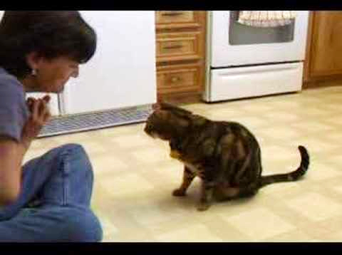 This cute Bengal cat can do dog tricks video.