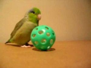 VIDEO: Tiny Bird, Koolaid, Talking & Running After His Ball!