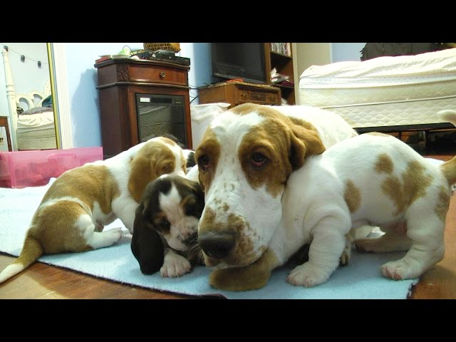 (VIDEO) Basset Hound Mom Protects Puppies from Grandpa! Very precious!