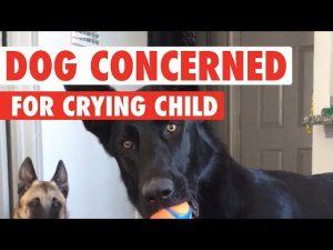 German Shepherd Has Hilarious Reaction To Crying Child