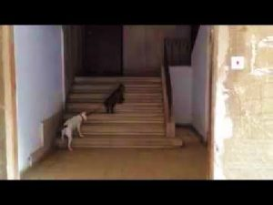 Cat Taking The Dog Home Video