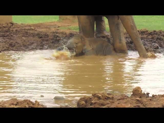 (VIDEO) Baby Elephant, Navann, Plays In A Mud Pit And Swims In A River