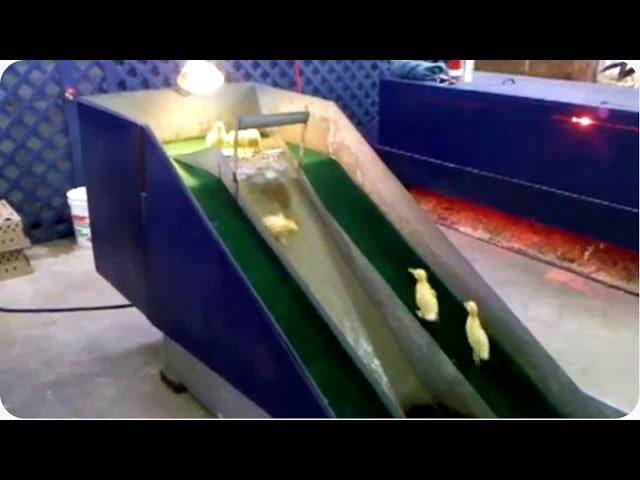 Baby Ducklings Play On A Slide