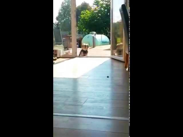 (VIDEO) Dog Thinks Terrace Door Is Closed