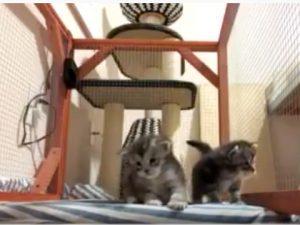 (VIDEO) Maine Coon Kittens Learning to Walk - 3 weeks old
