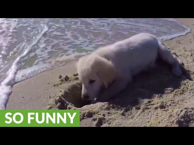(VIDEO) Puppy furious after ocean water waves destroys his sandcastle