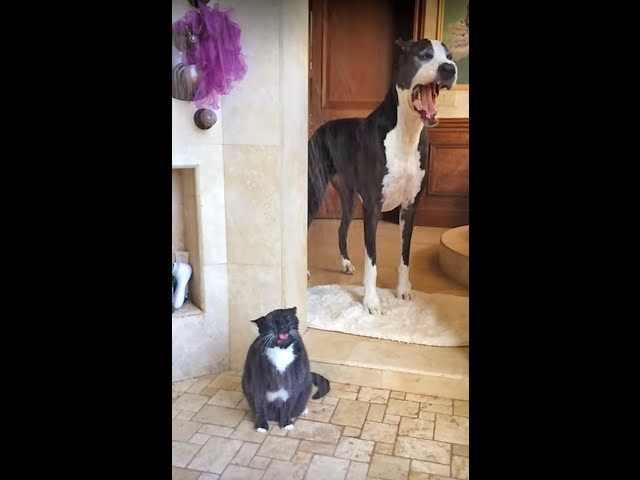 Great Dane Waits For Cat To Finish Showering