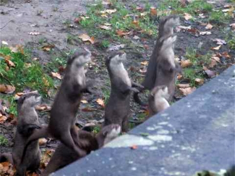Cute Otters Jumping And Cheering video