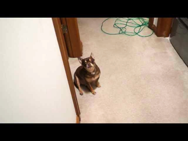 (VIDEO) Talking Chihuahua Gets Upset That His Toy Is Being Washed