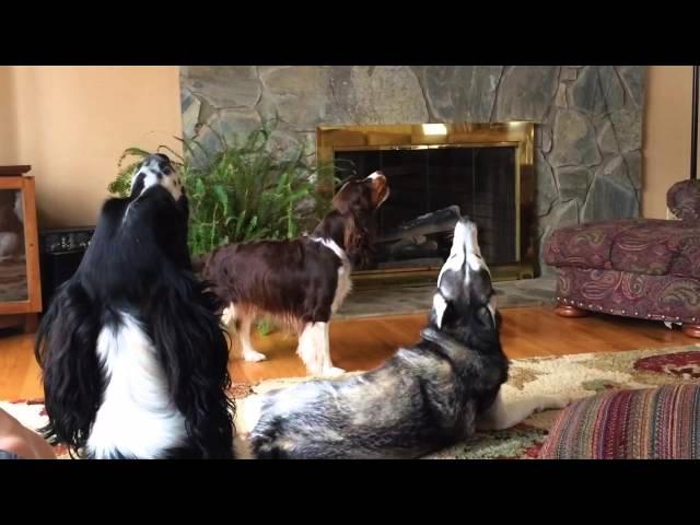 Annoyed Husky Howling