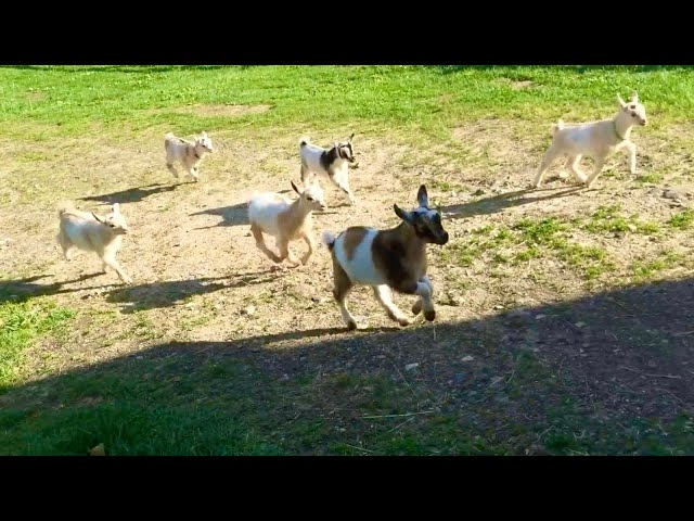Running of the Goats at Sunflower Farm