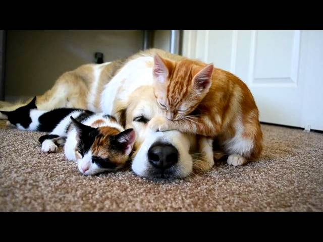 A Dog Sleeping With His Kittens